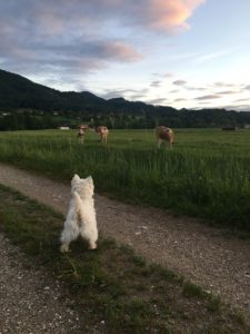 Hund schaut Kühe an