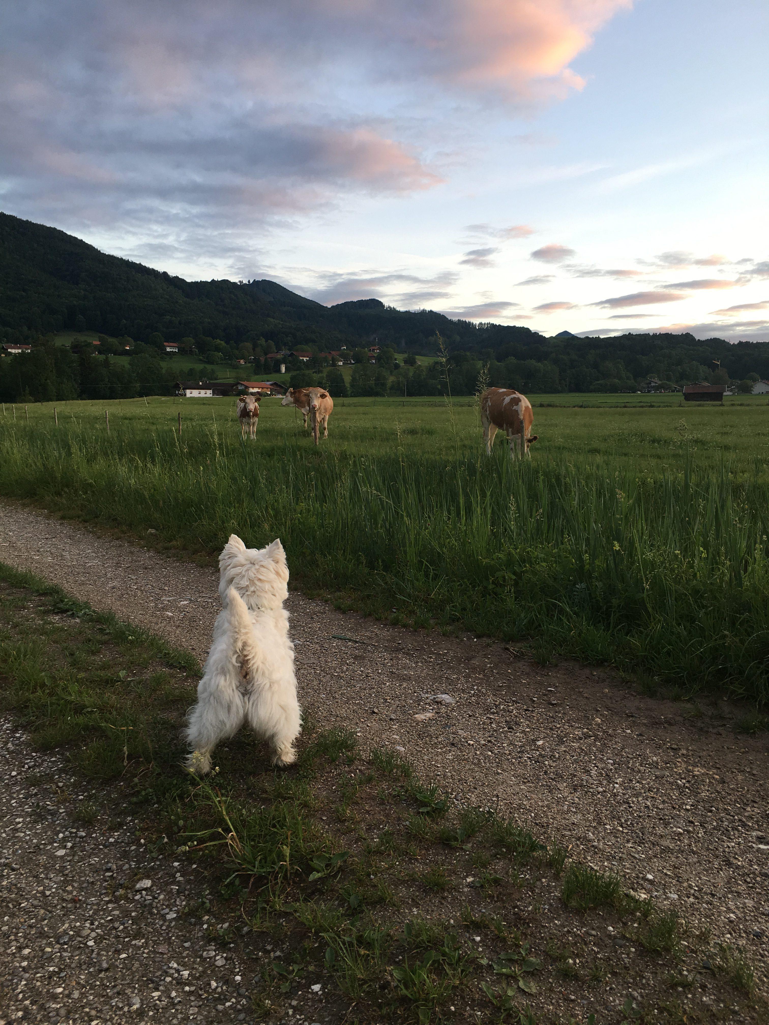 Hund beobachtet Kühe