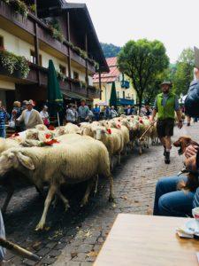 Schafe im Dorf